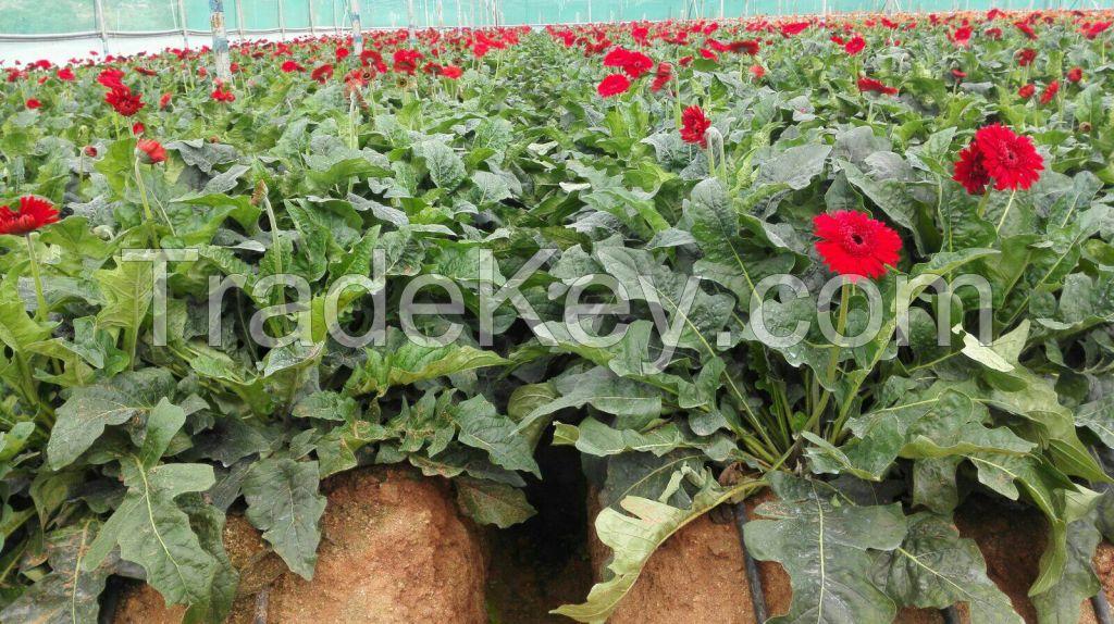 Gerbera Cut Flowers