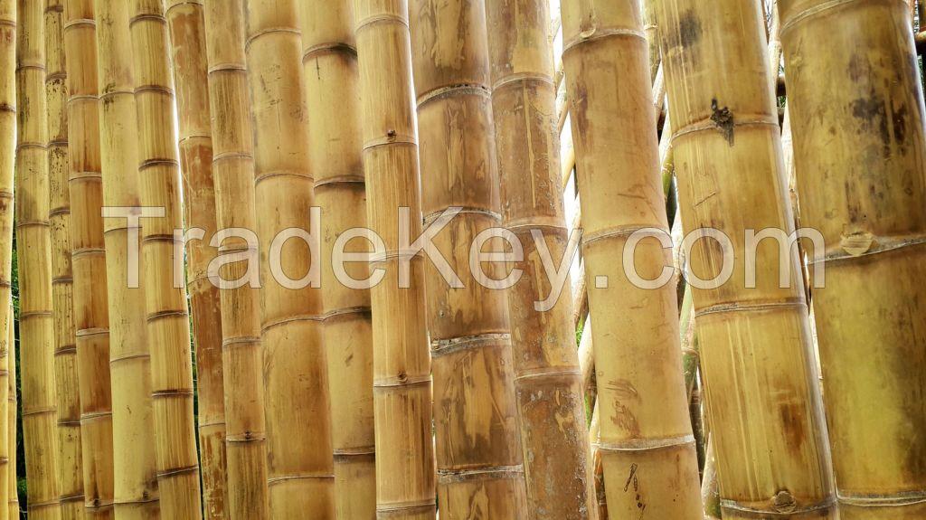 Bamboo Poles/Canes - Guadua