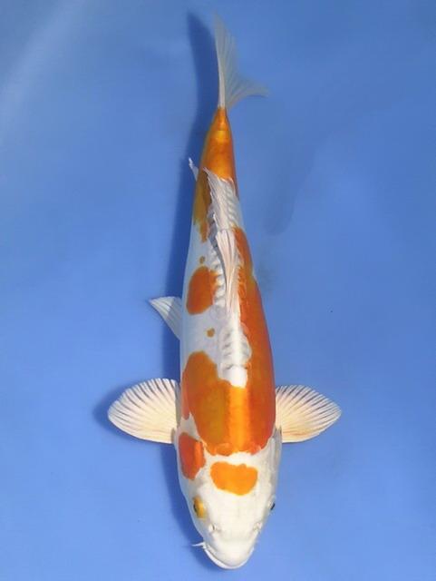 Koi (pond water fish)