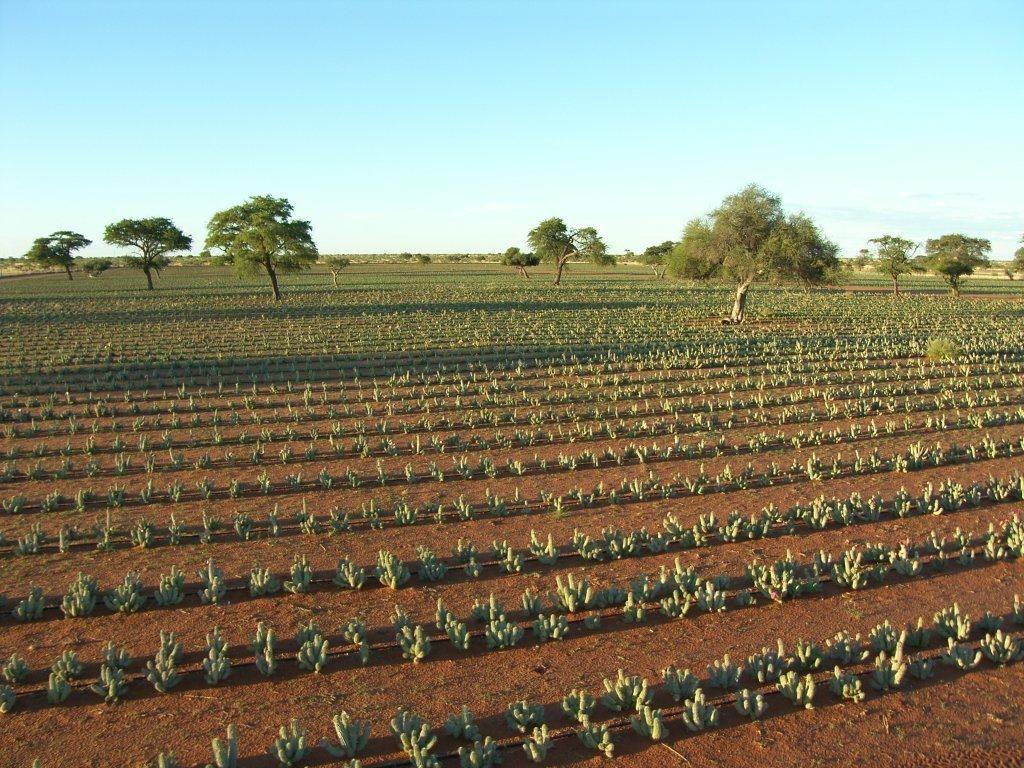 Hoodia Gordonii Powder By Tierkloof Trust Trading Bushpharm Namibia