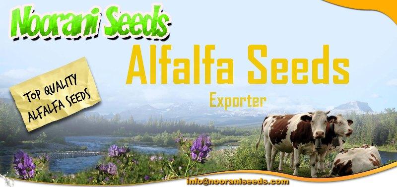 ALFALFA (Lucerne Medicago Sativa)seeds