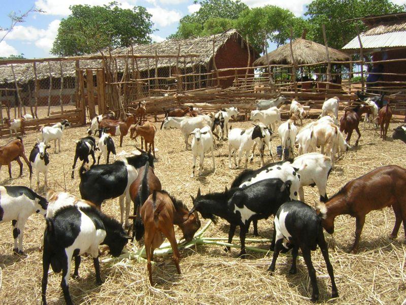 live goats