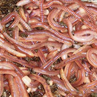 Live Earthworms Eisenia fetida