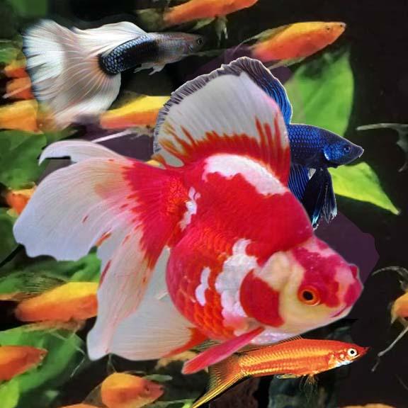 Onamental fish