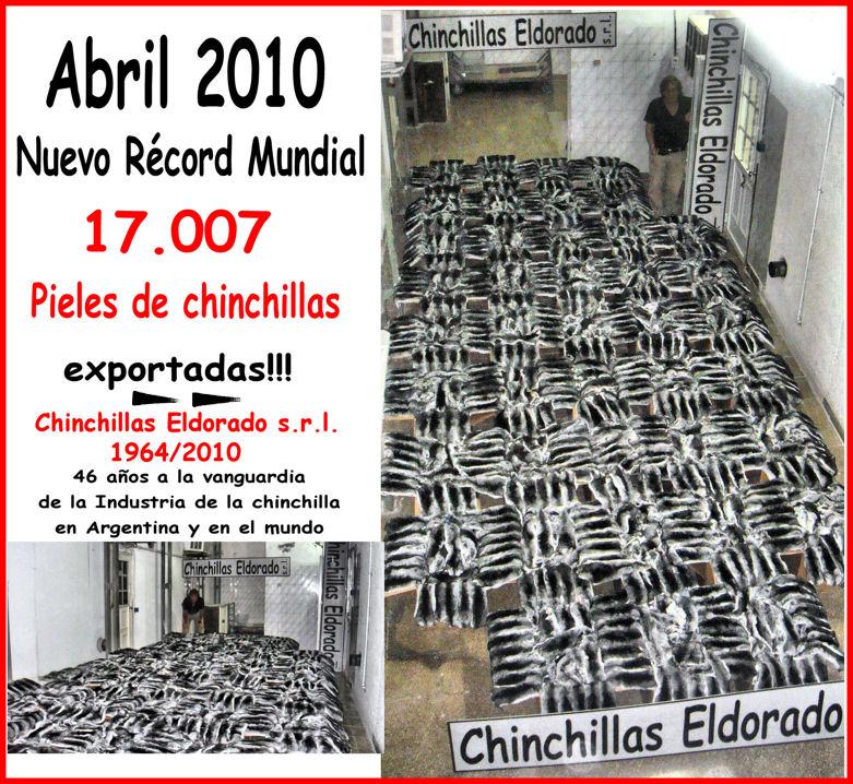Top quality Chinchilla ***** biggest chinchilla skin provider