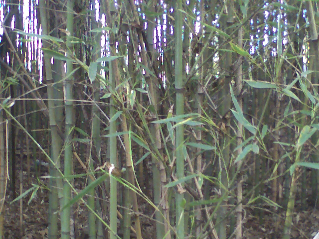 Bamboo Stalks in bulk or bundles for sale
