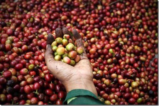 Export Arabica Coffee Beans   Arabica Coffee Bean Importer   Arabica Coffee Beans Buyer   Buy Arabica Coffee Beans   Arabica Coffee Bean Wholesaler   Arabica Coffee Bean Manufacturer   Best Arabica Coffee Bean Exporter   Low Price Arabica Coffee Beans  