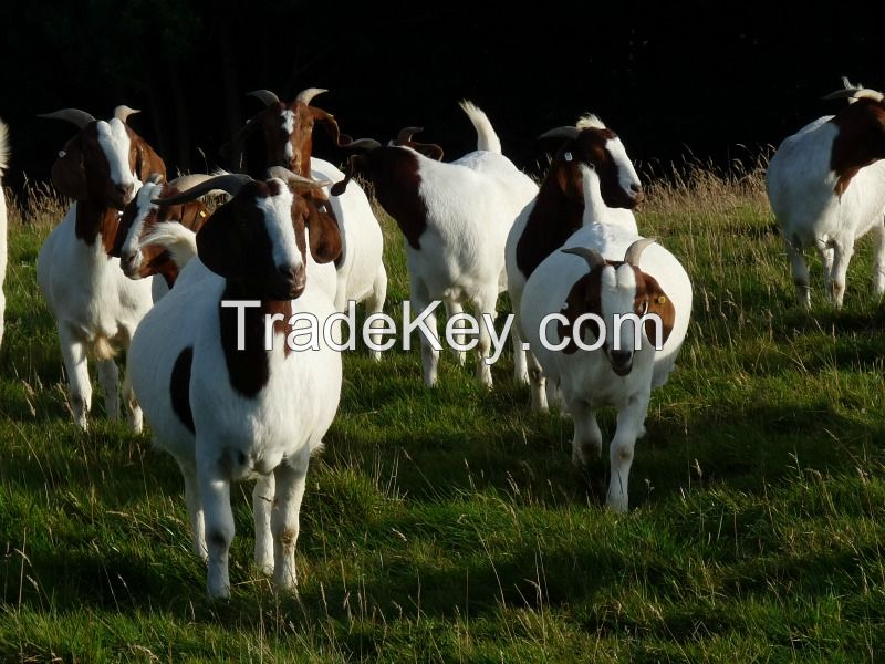 100 % Full Blooded Boer Goats