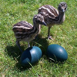 EMUS AND RABBITS