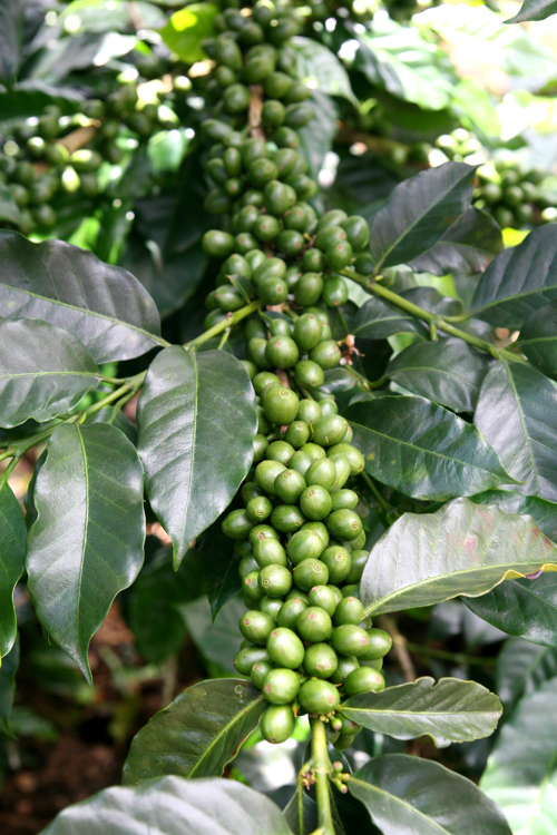 Export Arabica Coffee Beans,Arabica Coffee Bean Importer,Arabica Coffee Beans Buyer,Buy Arabica Coffee Beans,Arabica Coffee Bean Wholesaler,Arabica Coffee Bean Manufacturer,Best Arabica Coffee Bean Exporter,Low Price Arabica Coffee Beans,Best Quality Arab