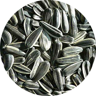 New Crop Sunflower Seeds Suppliers | Sunflower Seed Exporters, | Sunflower Black Seed  | Striped Black Seed | Flowers Seed | Sunflower Kernels
