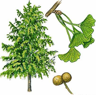 little gingko tree, ginkgo tree, seeds