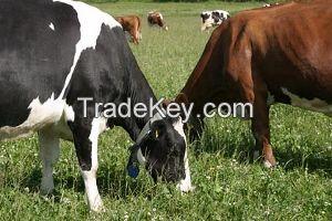 Pregnat heifers. Origin EU and USA High milk production