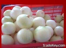 Red / White Onion@Farm Price