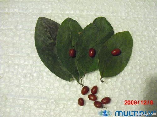 coca seeds - semillas de coca