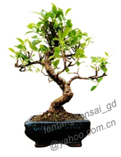bonsai/potplant/indoor plant/ficus/layered/10cm-60cm