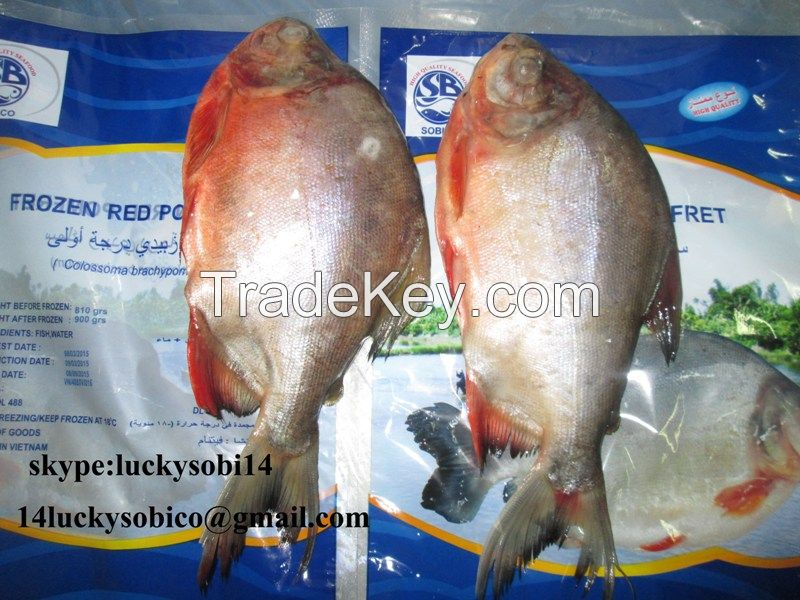 we sell pangasius/ horse mackerel/red pomfret/black tilapia/red tilapia/ rohu with good price