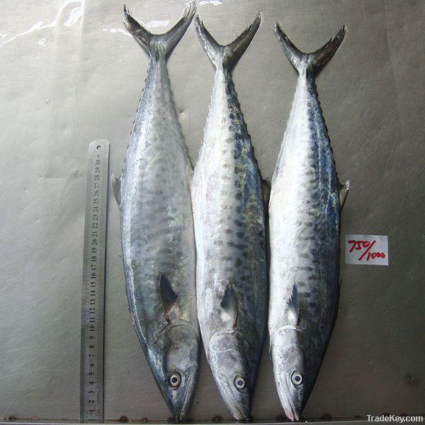 Spanish Mackerel Fish