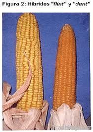 Argentinian Flint Maize