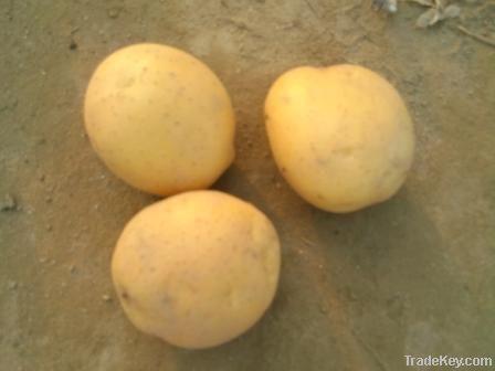 FRESH POTATO, leading potato exporter from Bangladesh