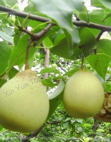 fresh ya pear in season