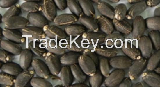 Jatropha seeds (Jatropha curcus )