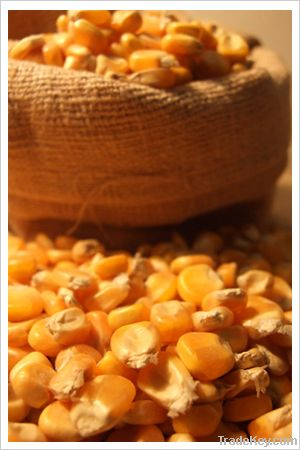 Maize   Maize Exporter   Corn Grain Seller   Maize Buyer   Bulk Maize Grain Importer   Corn bean Buyer   Corn bean Wholesaler   Corn Grain Manufacturer   Best Quality Corn Grain   Cheap Maize Supplier   Low Price Corn   Yellow Corn   White Cron   Baby Mai