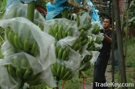 Best Premium High Quality Fresh Cavendish Banana