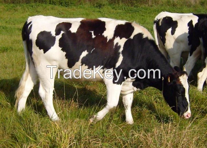Highly Pregnant Dutch Holstein Heifers cows/Holstein heifers / Friesian cattle