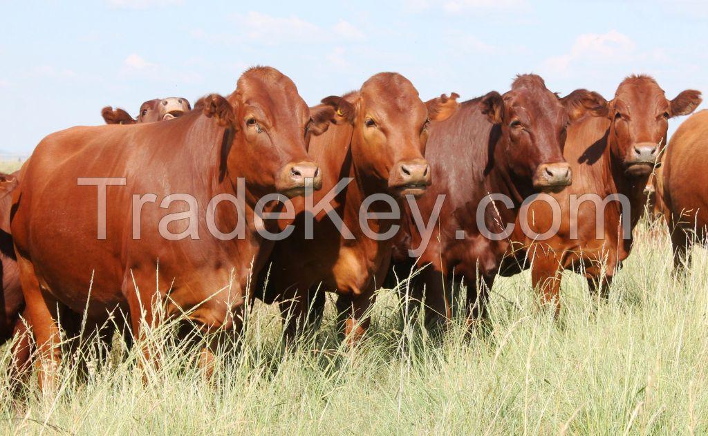 Live Bonsmara Bull/Livestock, Cattle - Bonsmara, Brahman