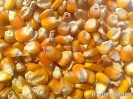 Maize   Maize Exporter   Corn Grain Seller   Maize Buyer   Bulk Maize Grain Importer   Corn bean Buyer   Corn bean Wholesaler   Corn Grain Manufacturer   Best Quality Corn Grain   Cheap Maize Supplier   Low Price Corn   Yellow Corn   White Cron   Baby Ma
