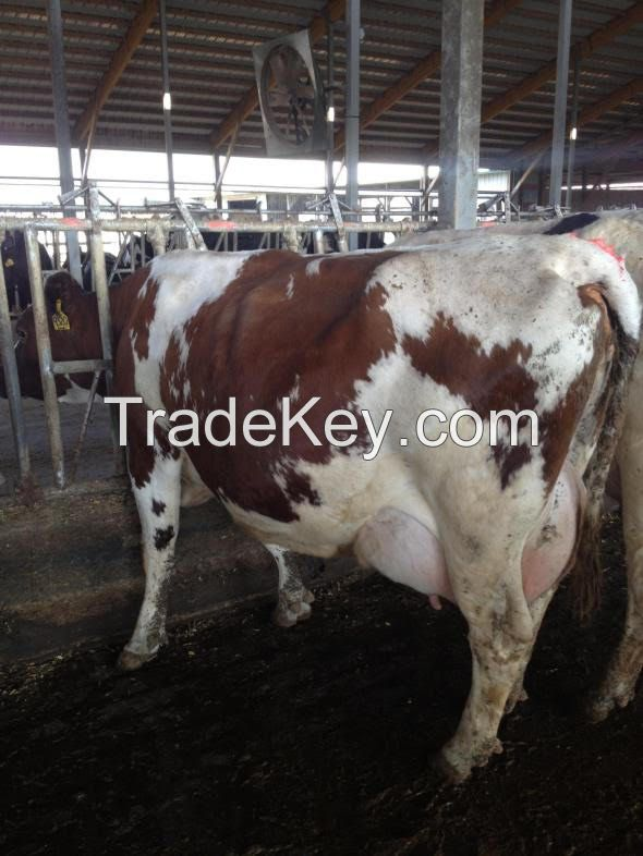 pregnant Holstein heifers cattle