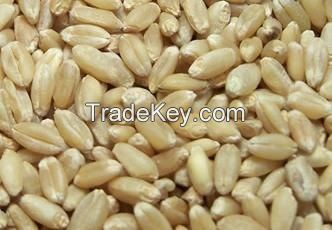 White Soft and Hard Wheat Grains for Sale