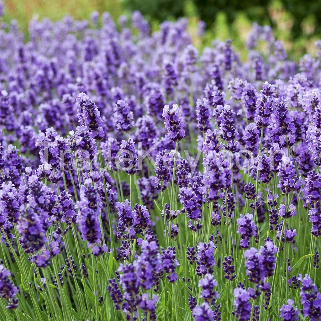 Outside pride Lavender English Plant Seed - 5000 Seeds