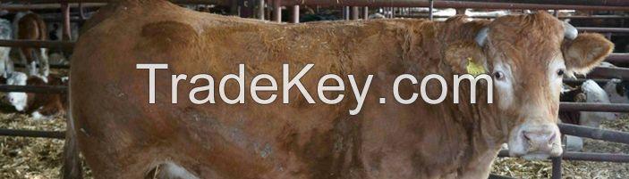 Cow Goat Sheep Lamb QUALITY CATTLE, GOAT, LAMB AND SHEEP