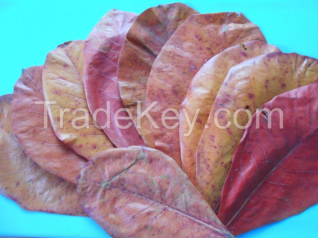 Dried Indian Almond Leaves