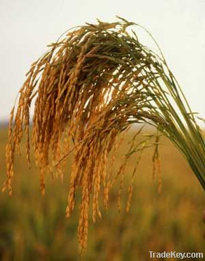 irri-6 and basmati and sella super rice