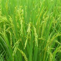 irri-6 white rice