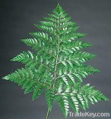 Leather-Leaf