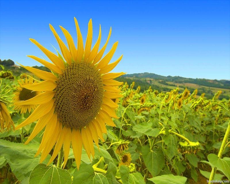 Refined Sunflower Oil   Rapseed Oil   Soya Bean Oil   Cooking Oil   Edible Oil   Plant Oil   Seed Oil