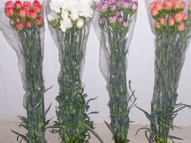 Carnation from Portugal