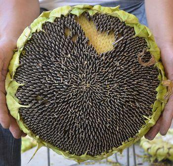 Sunflower Seeds Raw/ Fresh/ Dried
