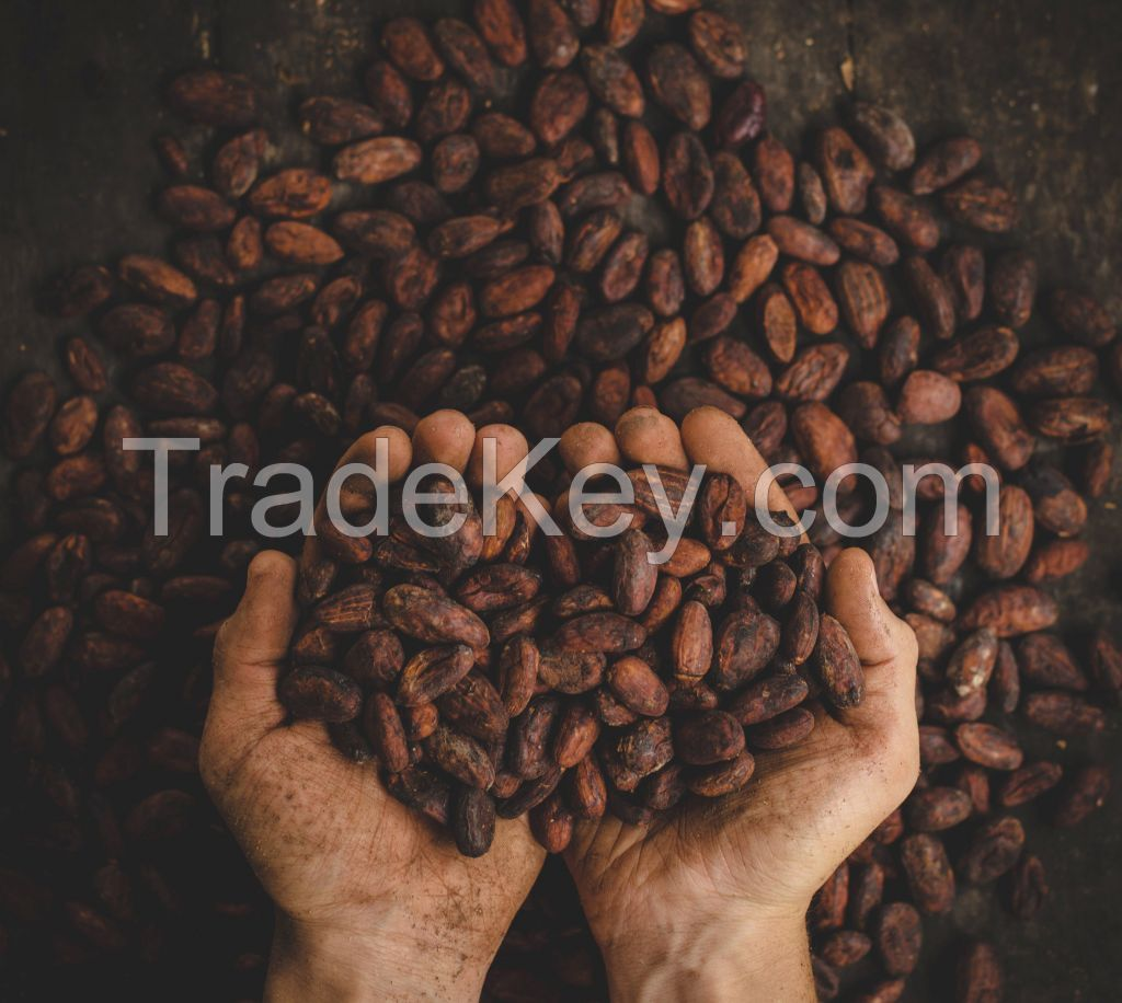 Cocoa Beans Cacao Beans