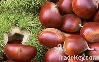 Quality Fresh Chestnuts