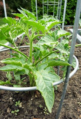 ring for tomato cage