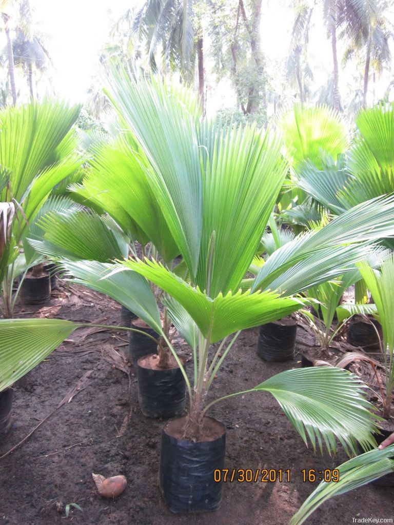 Palm Tree | Live Plant | Indoor Plant | Out Door Plant