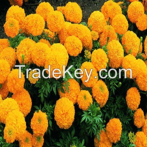 marigold hybrid flower seed