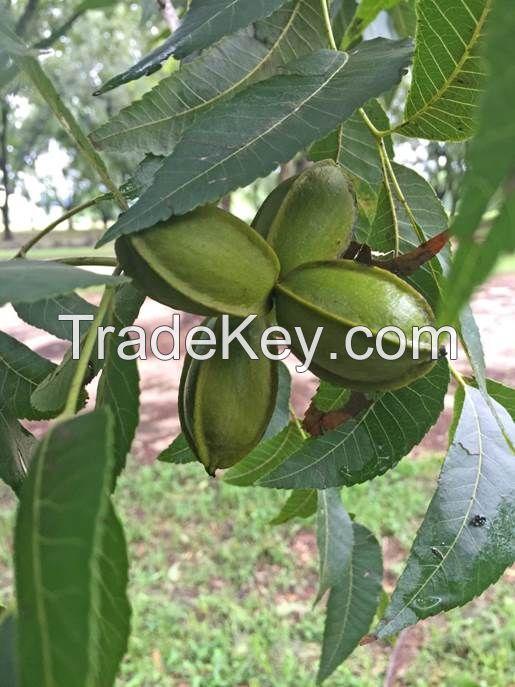 Western Pecan Nuts in Shell