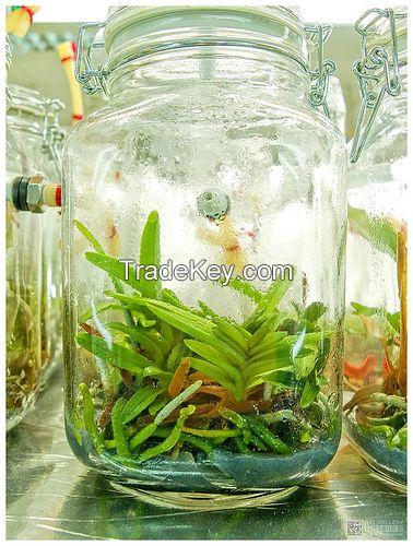 Orchids Flask Seedling