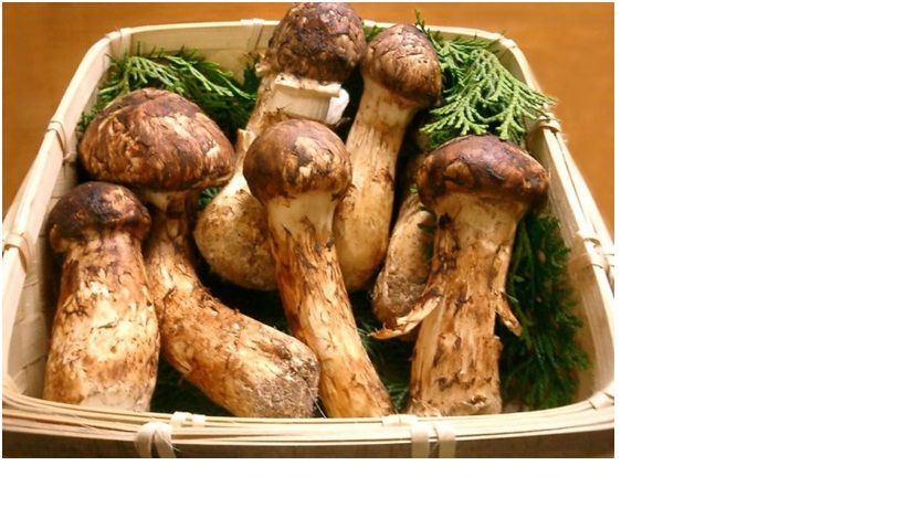 Top Quality Dried Tricholoma Matsutake